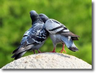 Couple amoureux de pigeon