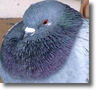 Gorge chatoyante du pigeon
