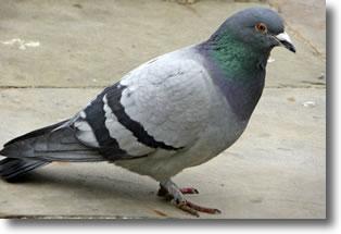 Pigeon Bizet