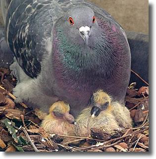 Pigeonneau - bebe Pigeon